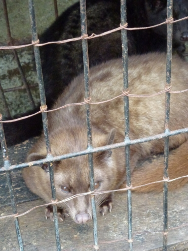 civet produces luwak coffee beans